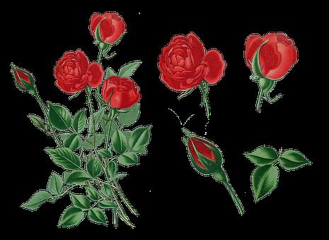 Vintage, Roses, Old, Nostalgia, Rose Bush, Isolated