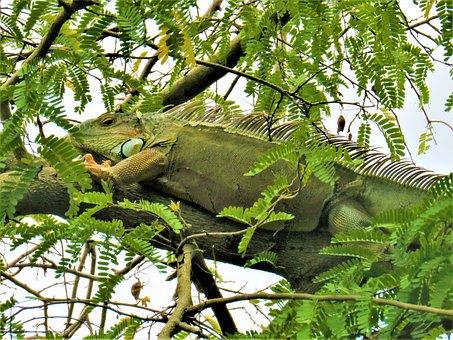 Iguana, Lizard, Reptile, Animal, Flakes, Green, Tree