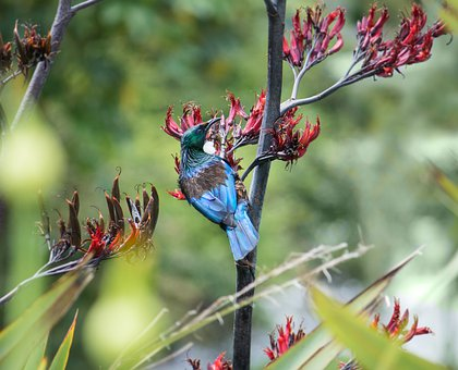 Tui, Bird, Nz, Flax, Native, Flower