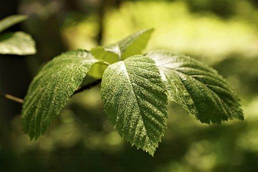 Leaf, Beech, Nature, Summer, Tree