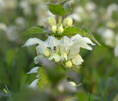 Dead Nettle, White Deadnettle, Ant, White, Blossom