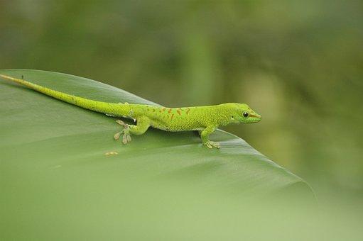 Salamander, Amphibians, Leaf, Green