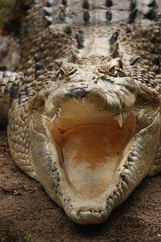 Crocodile, Teeth, Australia, Reptile, Animal, Wildlife
