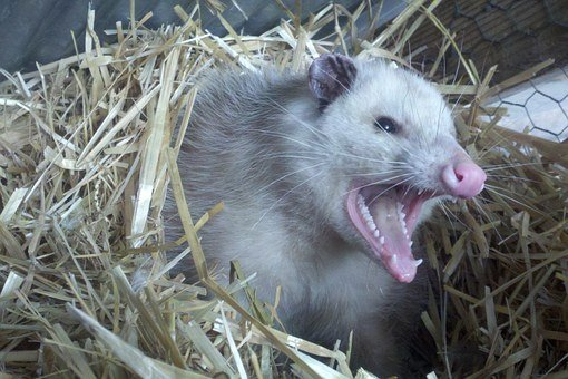 Opossum, Possum, Teeth, Fur, Animal, Nest, Straw, Angry