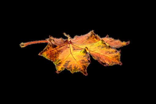 Autumn, Leaves, Leaf, Transparent, Fall Color, Colorful