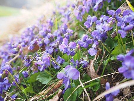 Scented Violets, Violet, Flower, Blossom, Bloom