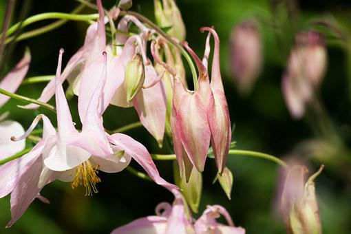 Columbine, Flower, Blossom, Bloom, Plant, Pink, White
