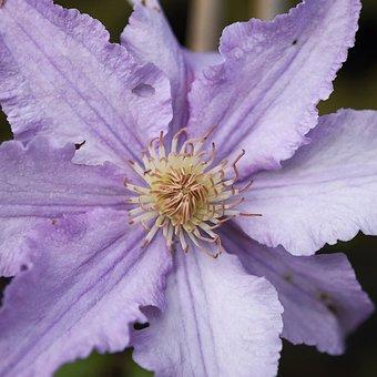 Clematis, Flower, Plant, Flora, Purple, Bloom, Blossom