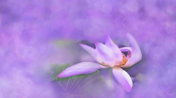 Flower, Lotus, Water Lily, Blossom, Bloom, Plant, Pink
