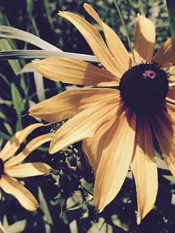 Brown Eyed Susan, Yellow Flower, Flower, Yellow, Floral