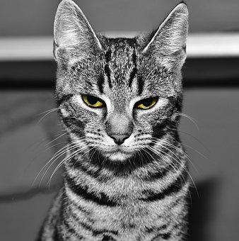 Cat, Pet, Animal, Cute Cat, Cat's Eyes, Domestic Cat