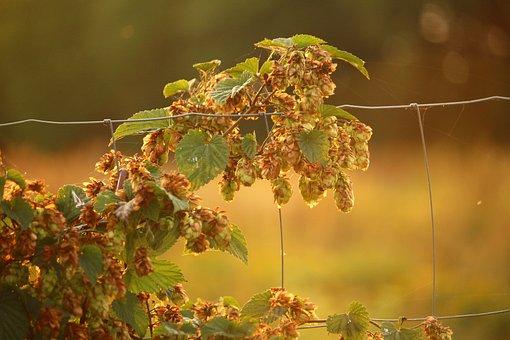 Hops, Plant, Umbel, Hops Fruits, Climber, Hopfendolde