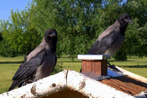 Crow, Crows, Bird, Nature, Predator, Ornithology, Sky