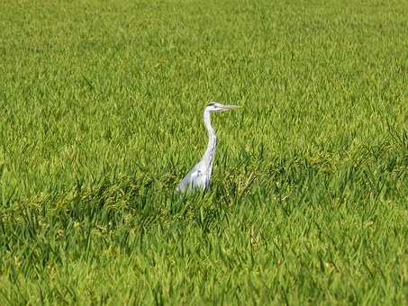 Kingfisher, Paddy, Ebro Delta