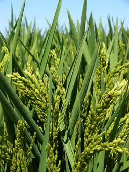 Rice, Paddy, Ebro Delta