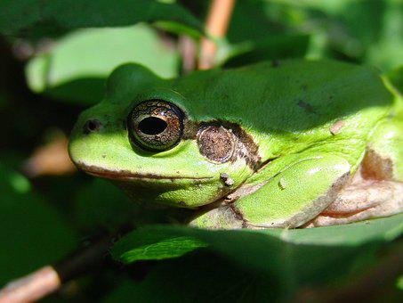 Far East Tree Frog, Nibe Croaker, Frog, Hyla Japonica