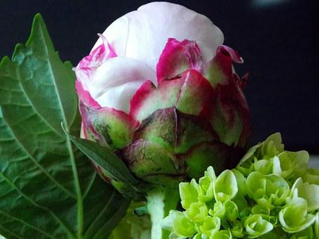 Peony, Flower, Bloom, Pink, Floral, Spring, Nature