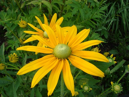 Rudbeckia, Hirta, Black Eyed Susan, Flower, Bloom