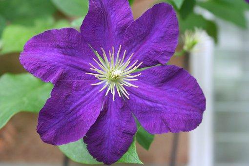 Clematis, Vine, Flower, Floral, Purple, Climbing, Plant