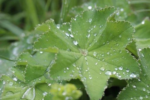 Frauenmantel, Medicinal Plant, Herbaceous Plant, Flora