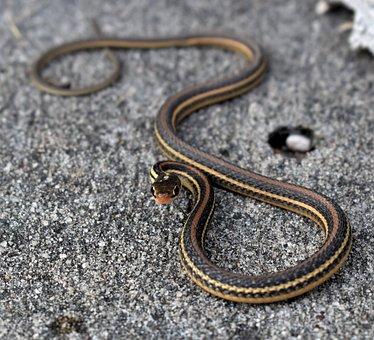 Snake, Garter Snake, Serpent, Reptile, Aggression