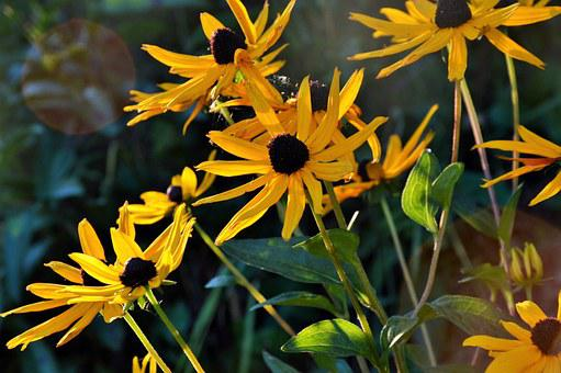 Black Eyed Susan, Flowers, Yellow, Green, Nature