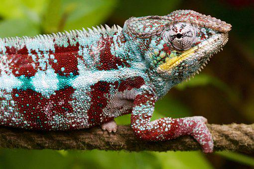 Nature, Animal, Lizard, Chameleon, Hunter