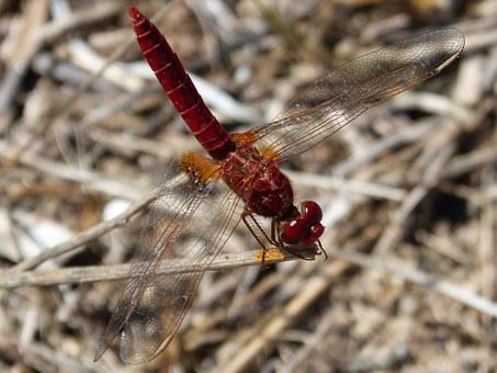 Dragonfly, Ebro Delta, Insects