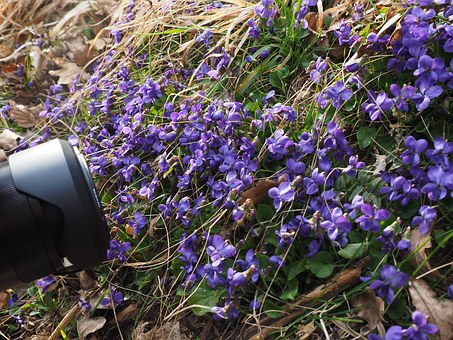 Photograph, Photo, Photo Session, Lens, Scented Violets