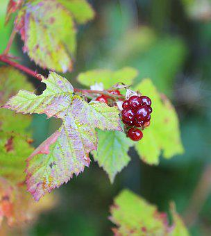 Blackberry, Berry, Wild, Summer, Greens, Macro, Leaves
