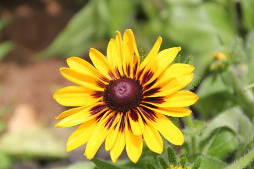 Flower, Black-eyed Susan, Yellow, Nature, Black, Green