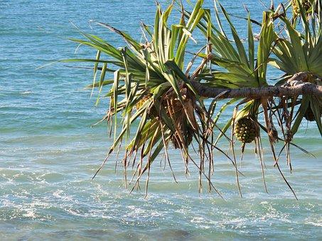 Beach, Pandanas Tree, Pandanas, Australia, Gold-coast
