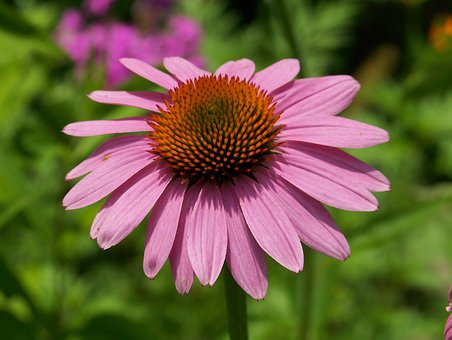 Echinacea, Pink, Flower, Petals, Blossom, Blooming