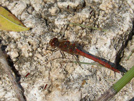 Dragonfly, Red Dragonfly, Rock, Detail, Winged Insect