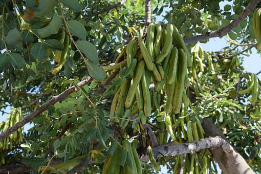 Carob, Beans, Seed, Pod, Fruit, Green, Plant, Tree