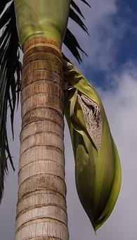 Palm, Tree, Seeds, Seed Pod, Fruit, Bangalow Palm, Pod