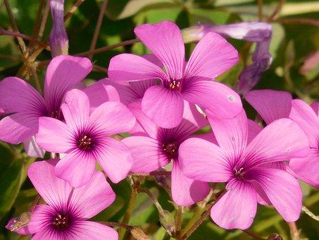 Oxalis, Shamrock, Plant, Green, Leaf, Flora, Sorrel