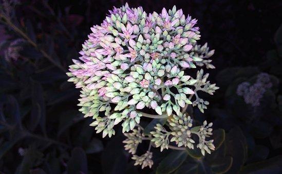 Sedum, Flower, Plant, Stonecrop, Herbstfreude