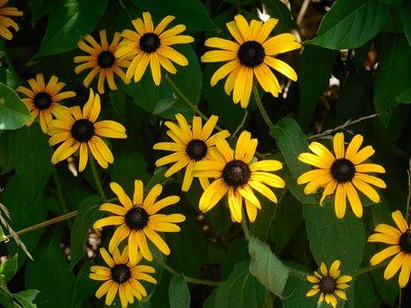 Rudbeckia, Black-eyed Susan, Yellow, Summer, Daisy