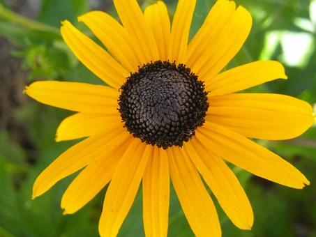 Flower, Black-eyed Susan, Yellow, Black-eyed, Susan