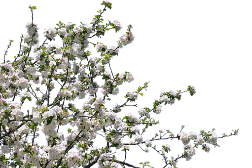 Tree, Flowers, Cherry, Apple, Isolated, Png