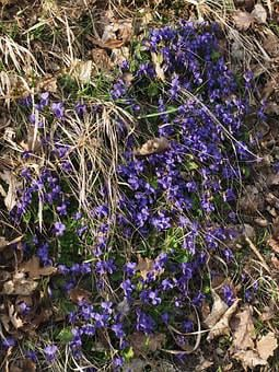 Scented Violets, Violet, Slope, Slope Vegetation