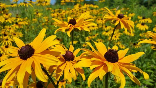 Black Eyed Susan, Yellow Daisy, Wild Flower, Background