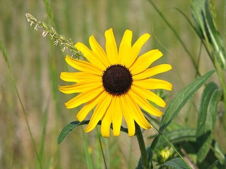 Black Eyed Susan, Yellow Daisy, Wildflower