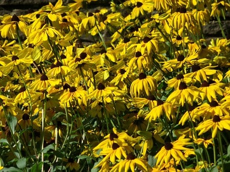 Black Eyed Susan, Flower, Yellow, Black-eyed, Susan
