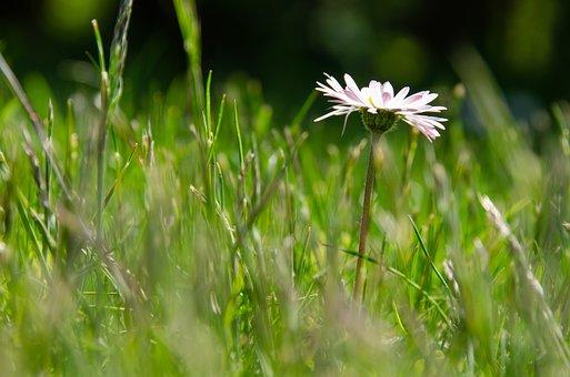 Daisy, Meadow, Bellis, Bellis Philosophy, Composites