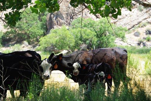 Cows, Bovines, Mom, Baby, Calf, Cattle, Animal, Farm