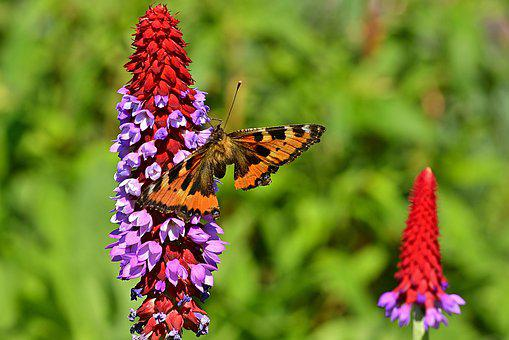Orchid Primrose, Butterfly, Little Fox, Butterflies