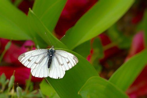 Butterfly, Green Veined White, White Ling, Flower