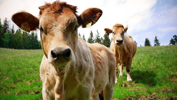 Murbodner, Beef, Cow, Calf, Cattle, Cows, Animal
